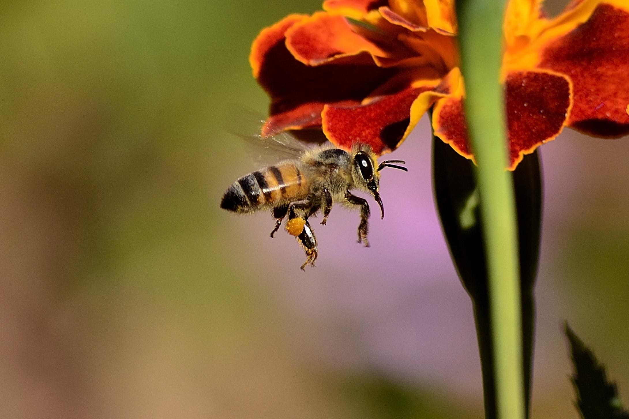 La disparition des abeilles coûterait 2,9 milliards d'euros à la France