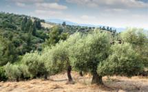 Agriculture : les oliviers corses menacés par la bactérie tueuse