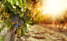 Vin : l'Italie récupère la place de numéro 1 mondial